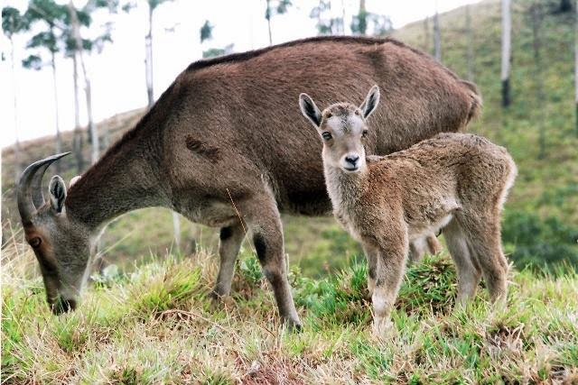 pictures of baby nilgiri tahrs, new born nilgiri tahr photos