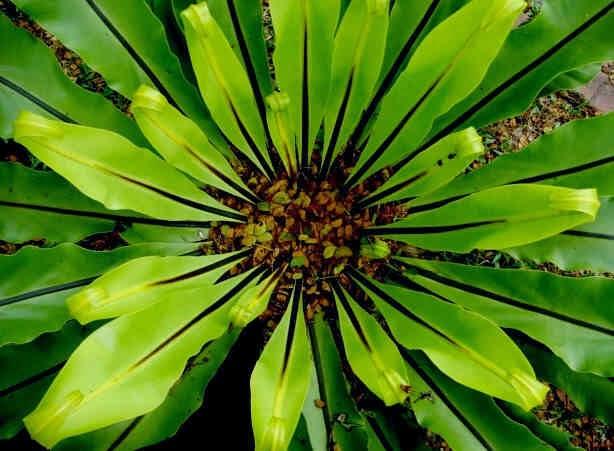 PlantWerkz: Bird's Nest Fern - Asplenium Nidus Ruffled Birds Nest Fern