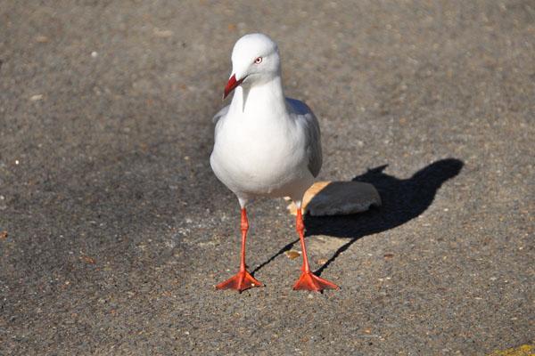silver gull seagull red legs