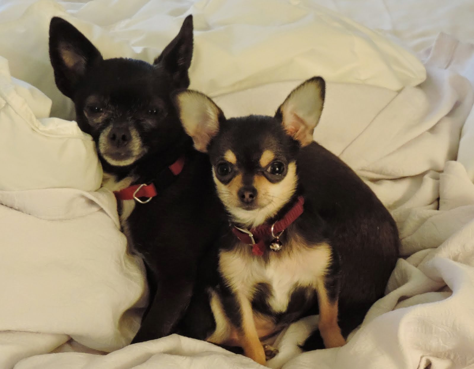 Our Chi's - Cheyenne and Jet