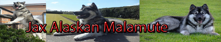 Life and times of Alaskan Malamute Jax