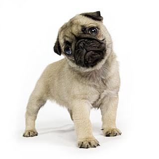 Perros Pug : 0091