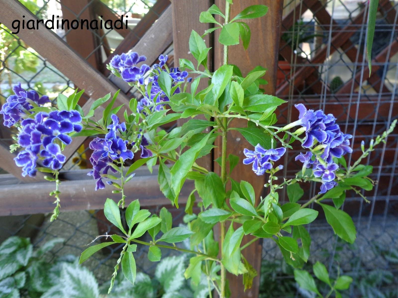 Il giardino delle naiadi duranta ellisia una novita 39 dal for Pianta rampicante con fiori viola a grappolo