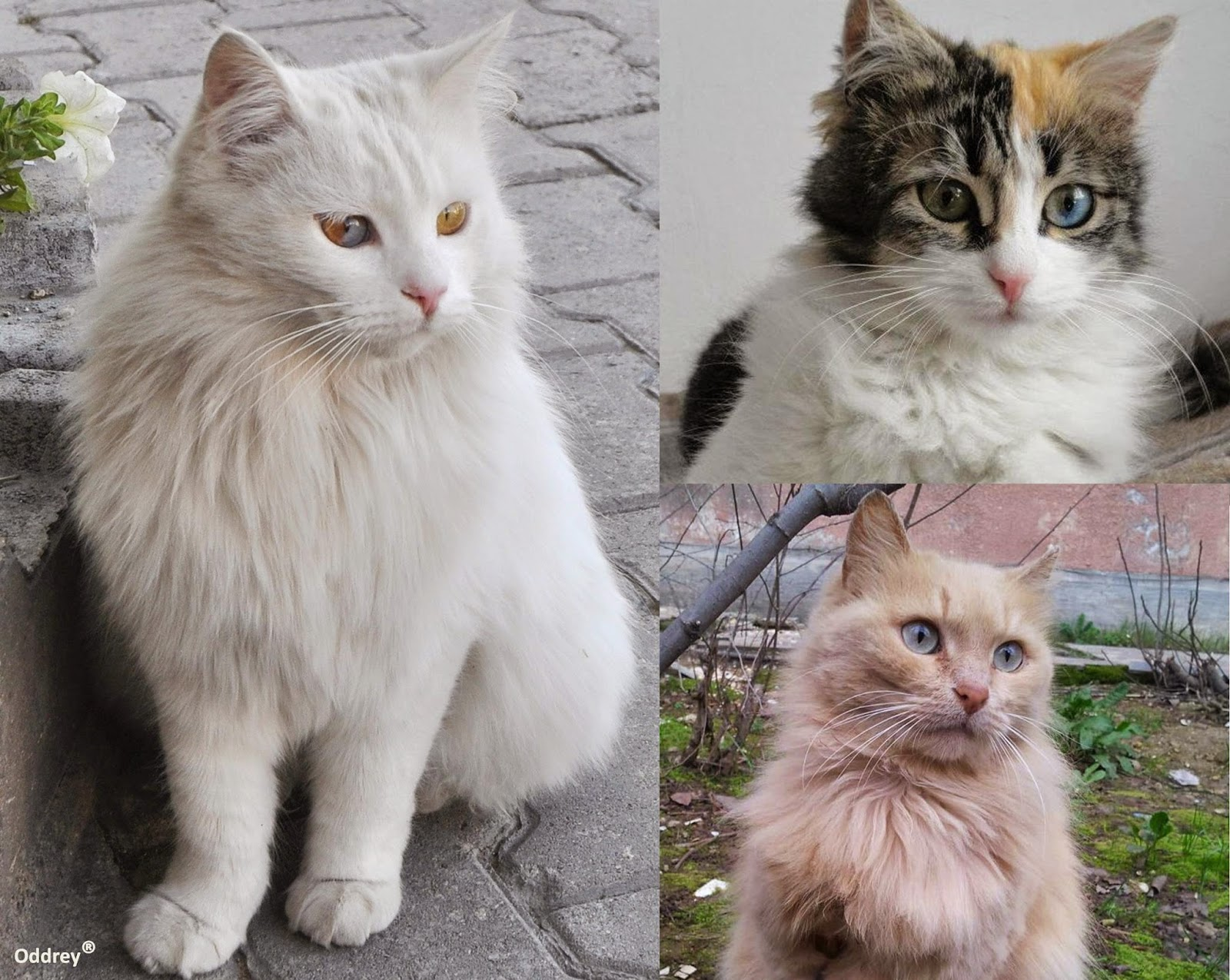 Persian cat 3 colors – Popular breeds of cats photo blog