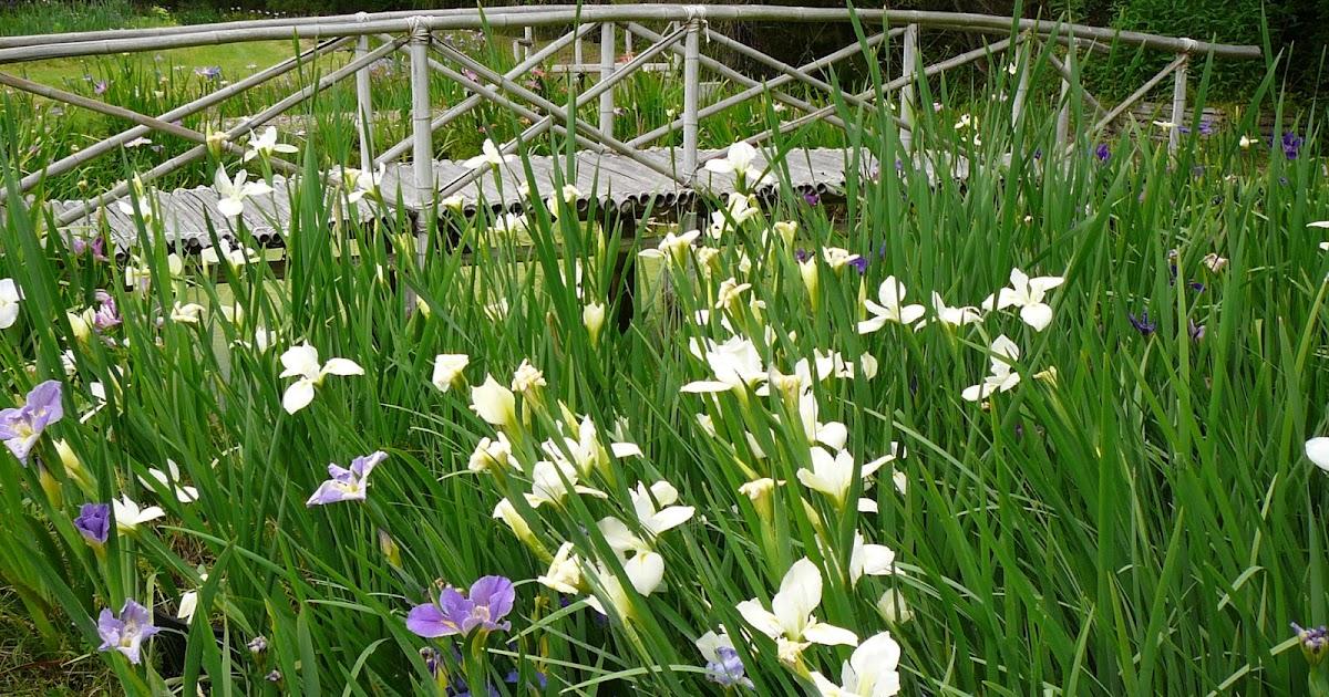 world of irises louisiana iris bloom season on caddo lake. Black Bedroom Furniture Sets. Home Design Ideas