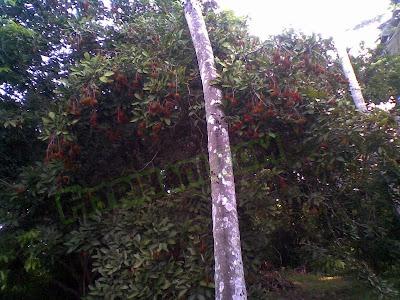 Pokok Rambutan Belakang Rumah Aku... Dah Berbuah pun!