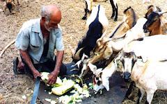 A coroa-de-frade na alimentação dos caprinos