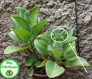 Planta Suculenta Kalanchoe Laetivirens