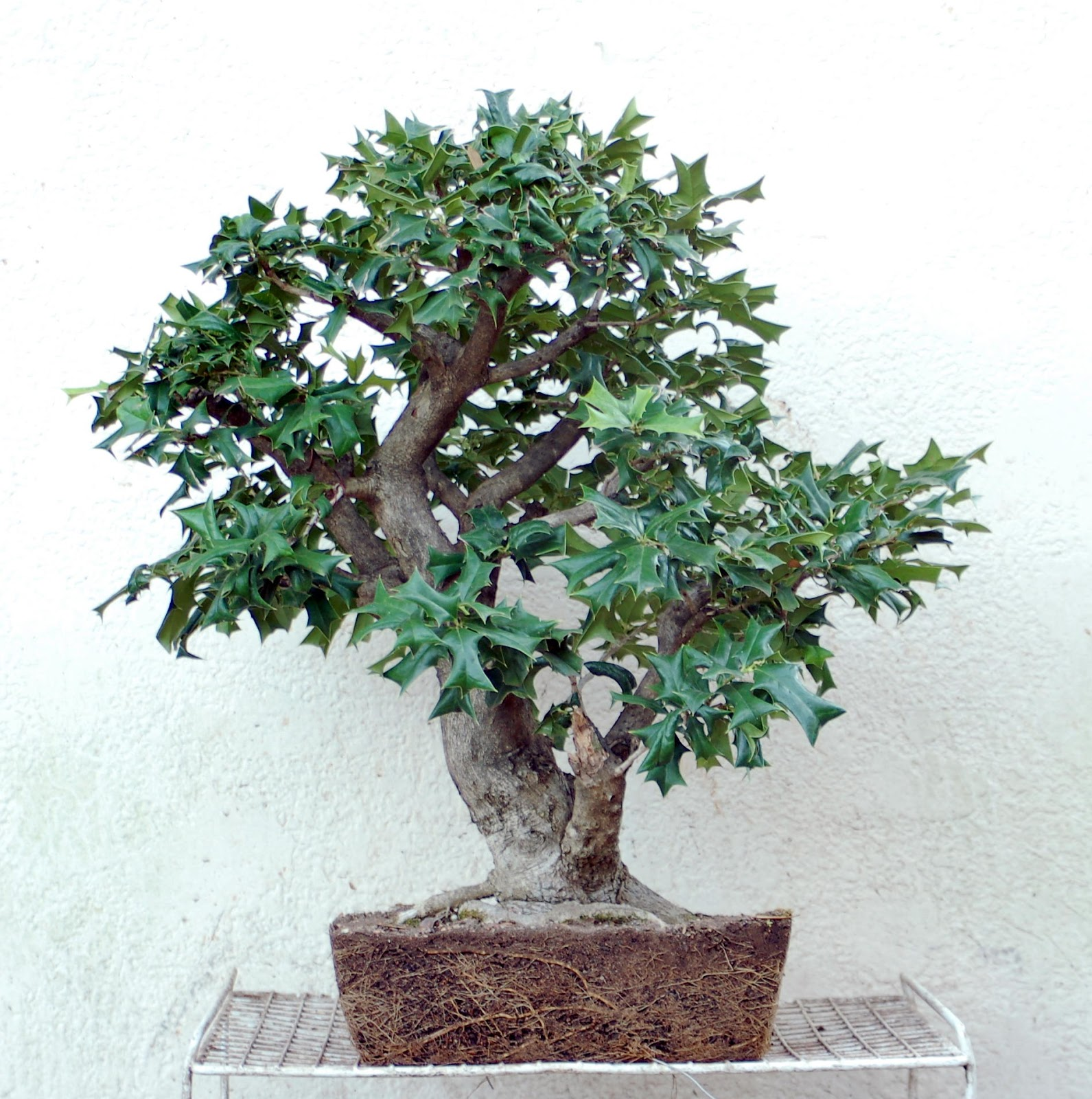 Heart Of Texas Bonsai August 2013