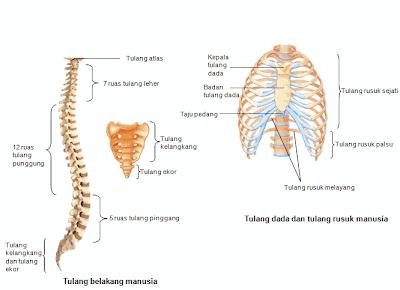 Tulang-Ekor