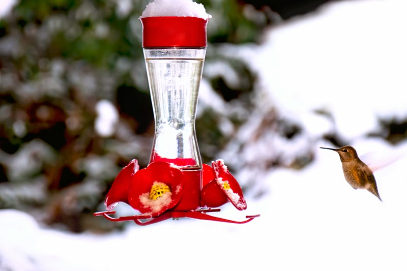 hummingbird, winter, snow