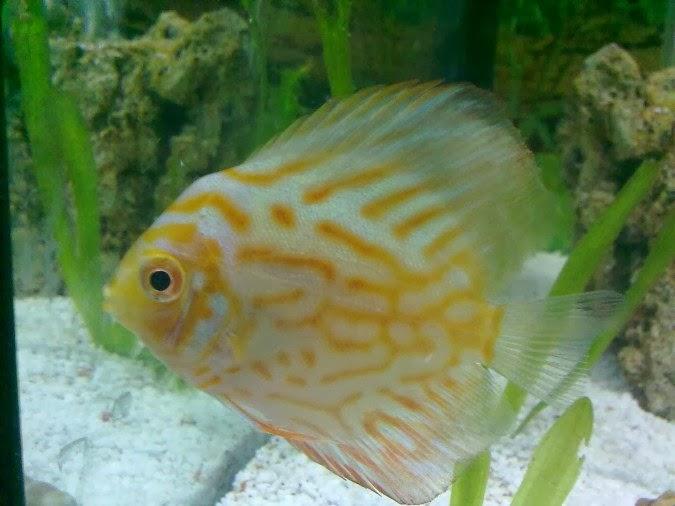 Satılık discus akvaryum balığı