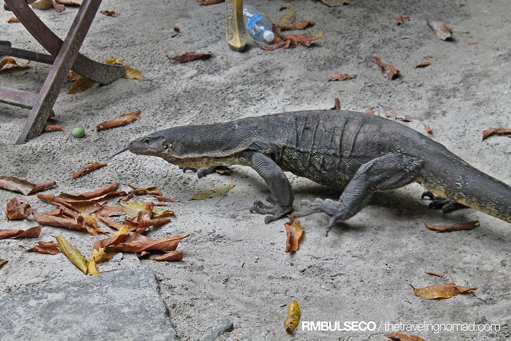Monitor Lizard Sapi Island