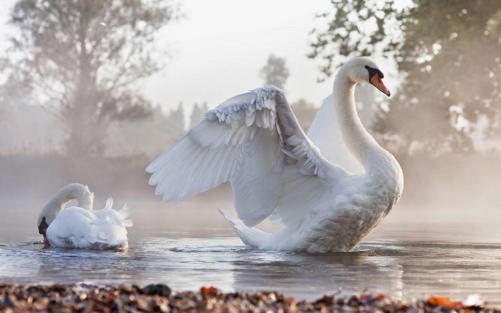 Swan bird wallpaper - photo#6