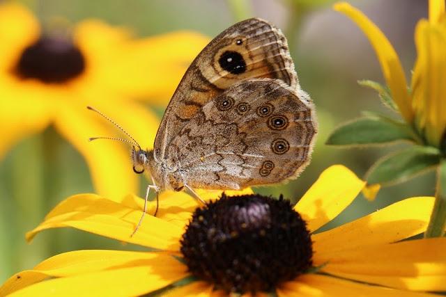 Tierbilder - Schmetterlinge - Augenfalter - Braunauge