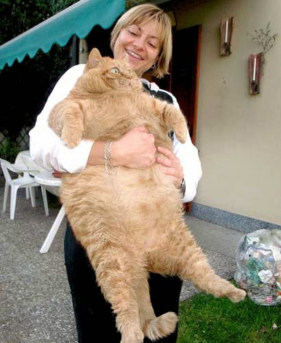 the biggest cat of the world