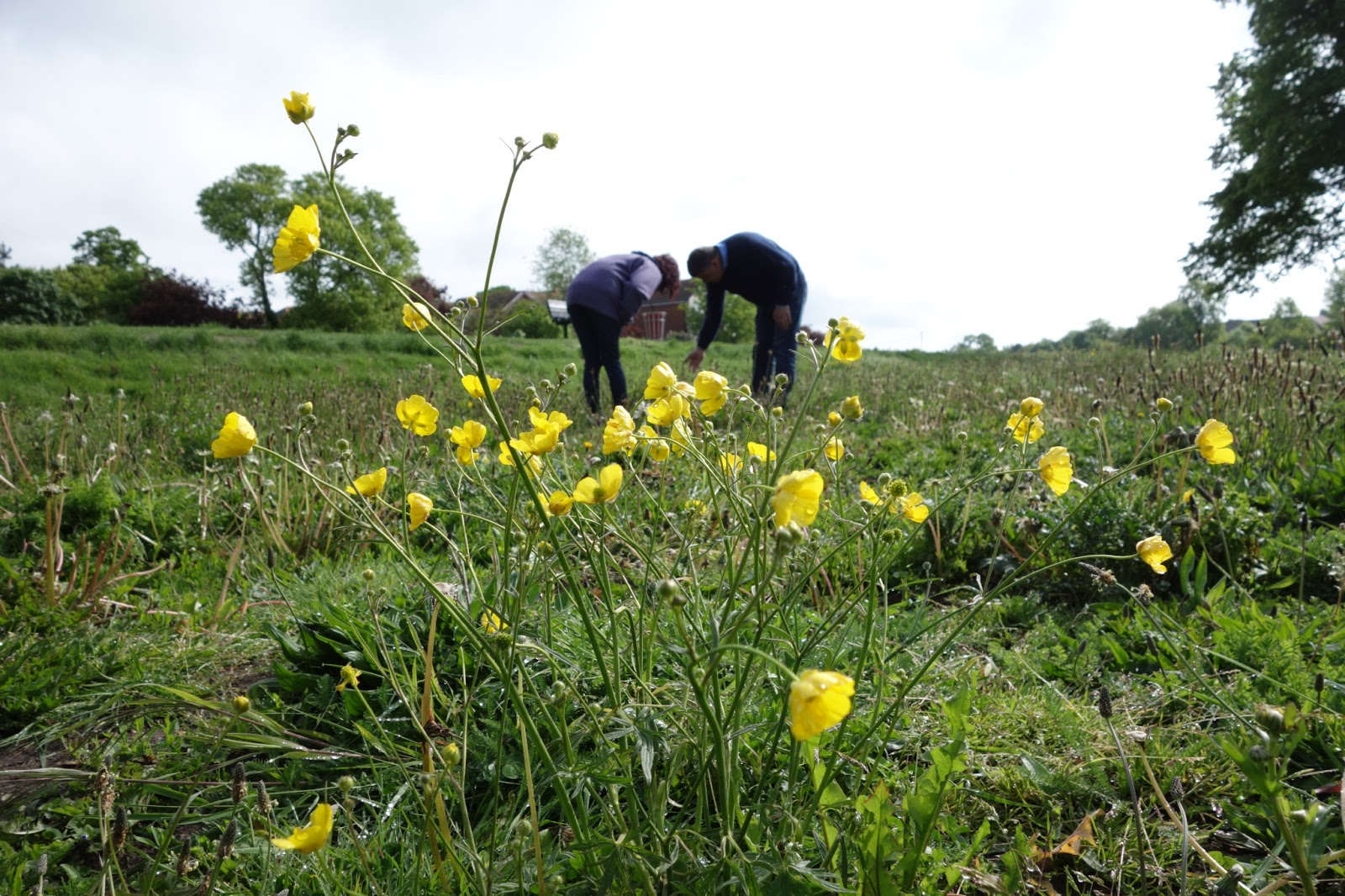 Urban pollinators what plants are flowering in our perennial meadows meadow buttercup ranunculus acris flowering time may june yello cup shaped flowers on tall branched stems finely dived leaves mightylinksfo