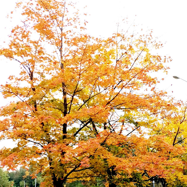 yellow autumn fall trees leaves