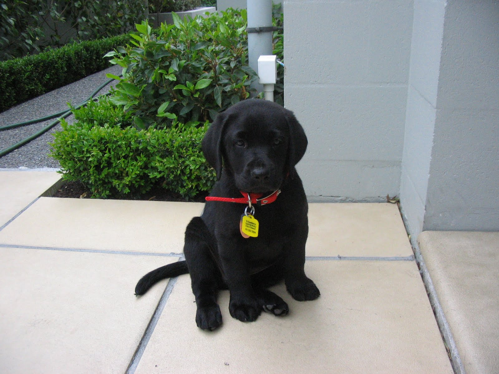 Black Lab Puppies For Sale In Va Beach