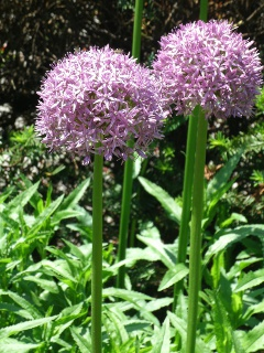purple sensation alliums at paul kane house gardens toronto by paul jung gardening services