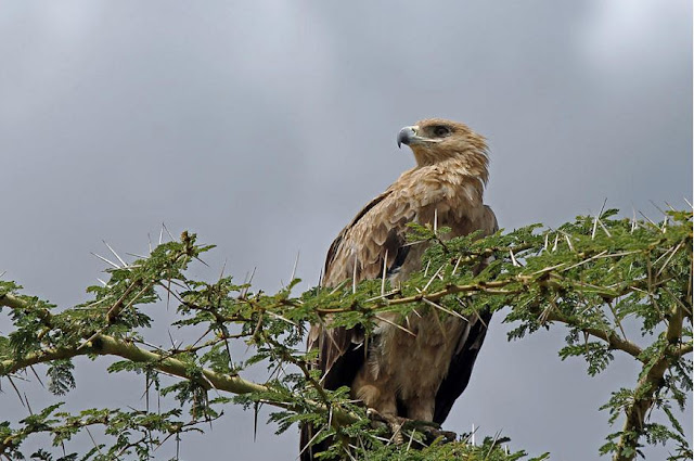 Buy Canvas Wall Art of Tawny Eagle