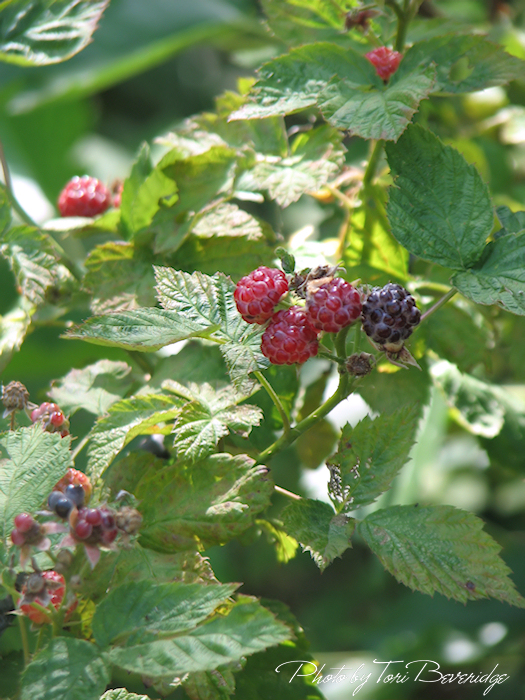 Blackberries Photo by Tori Beveridge