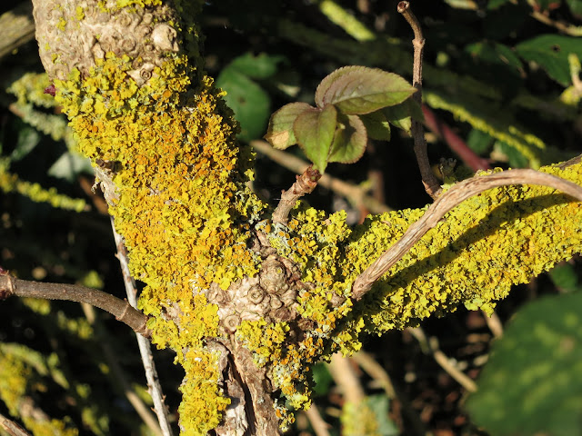 Common Orange Lichen - Xanthoria parietina coating elderberry tree branch.