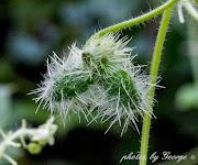 Bur Cucumber (Sicyos angulatus)
