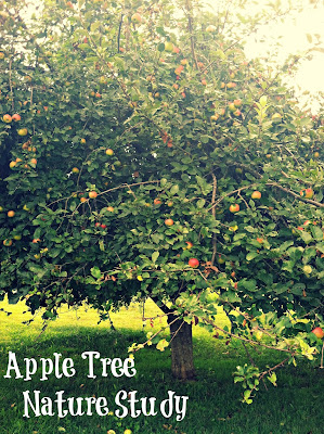 nature study:  apple tree study
