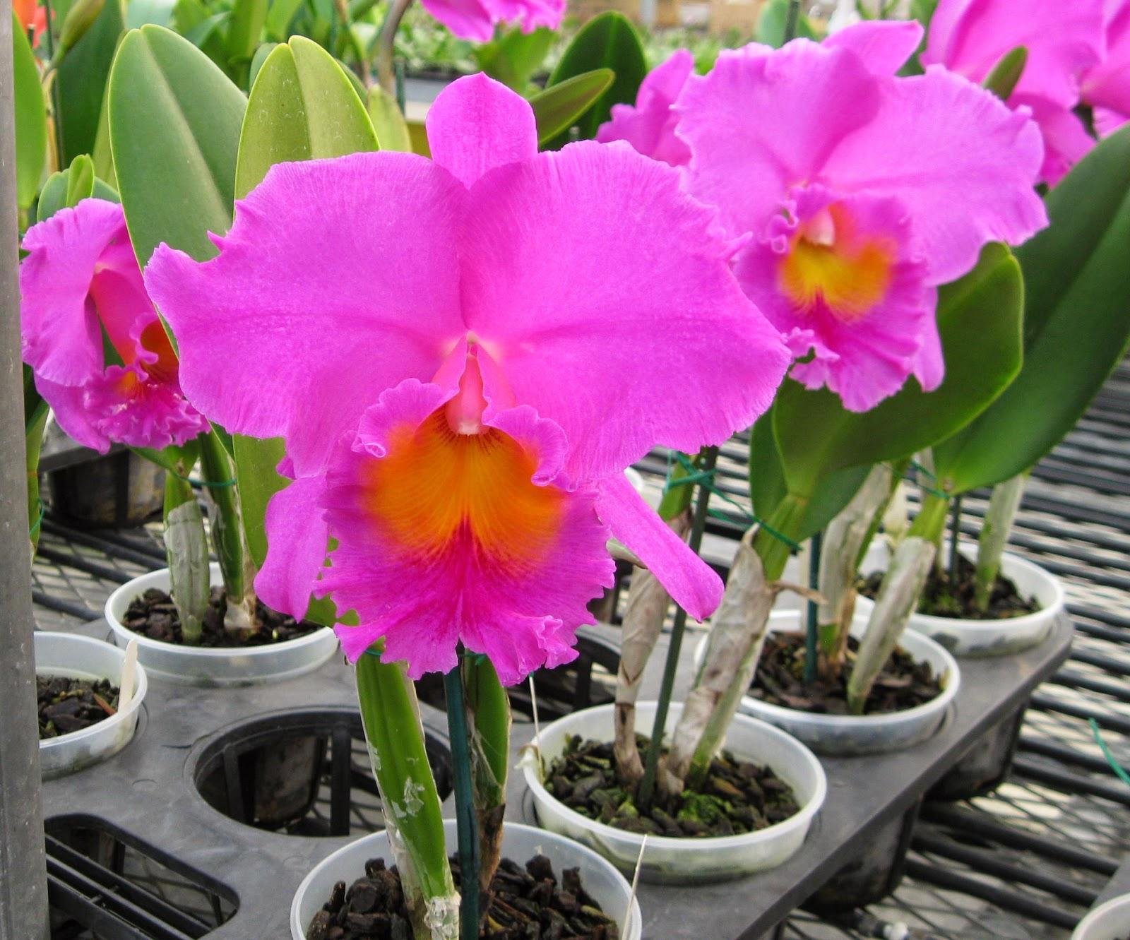 Blc. Pink Ember Jih Shen orchid flowers