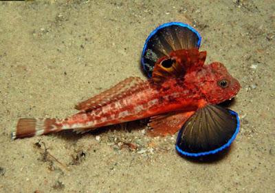 Pez Mariposa de Mar. The Gurnard Roja (Chelidonichthys spinosus)