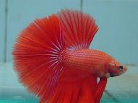 Cara budidaya/ternak Ikan cupang hias