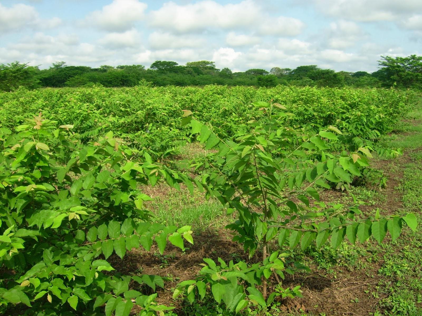Ecolog a con asoceb rboles y arbustos forrajeros - Arboles y arbustos ...