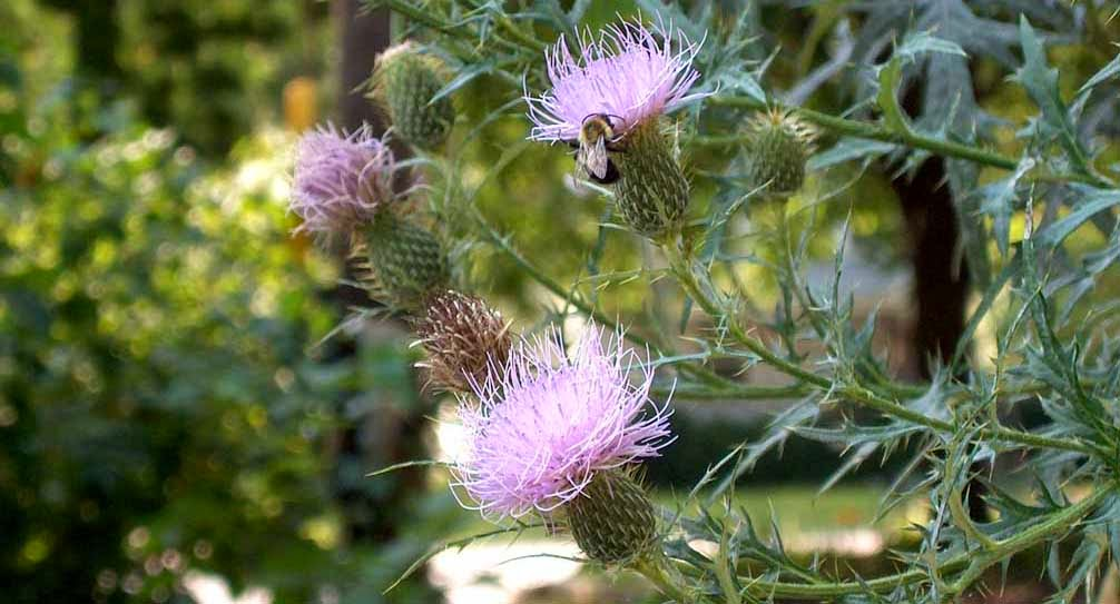 Thistle Quill