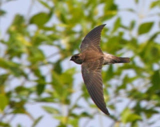 burung walet