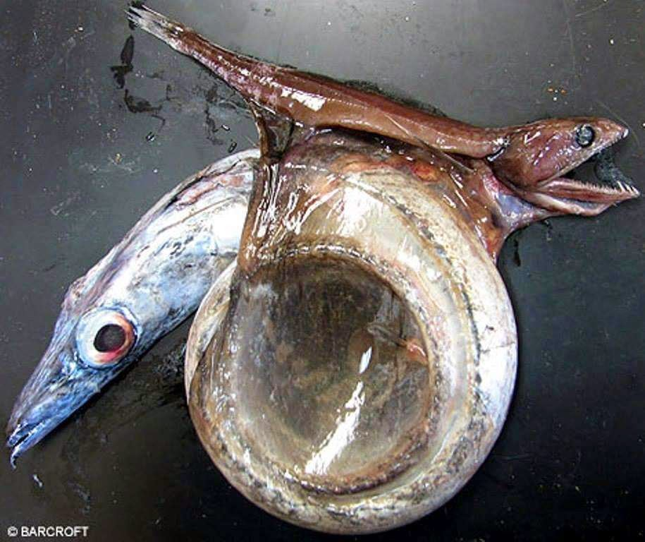 46 Unbelievable Photos That Will Shock You - A Fish That Eats Prey Up to 10x Its Mass and Twice Its Length