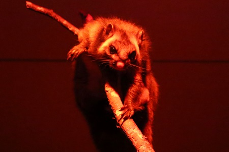 Japanese giant flying-squirrel