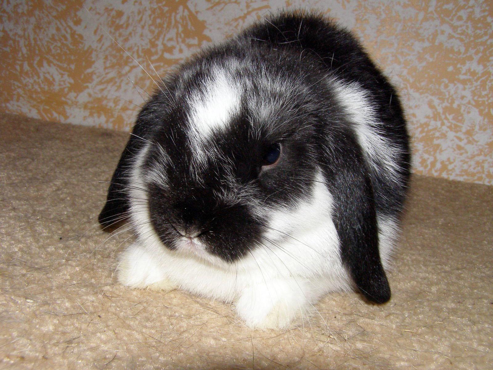 List of rabbit breeds  Wikipedia