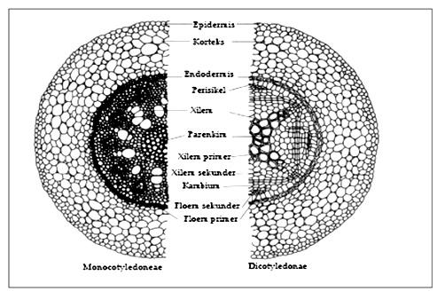 Biologi Ku: Apa itu Batang