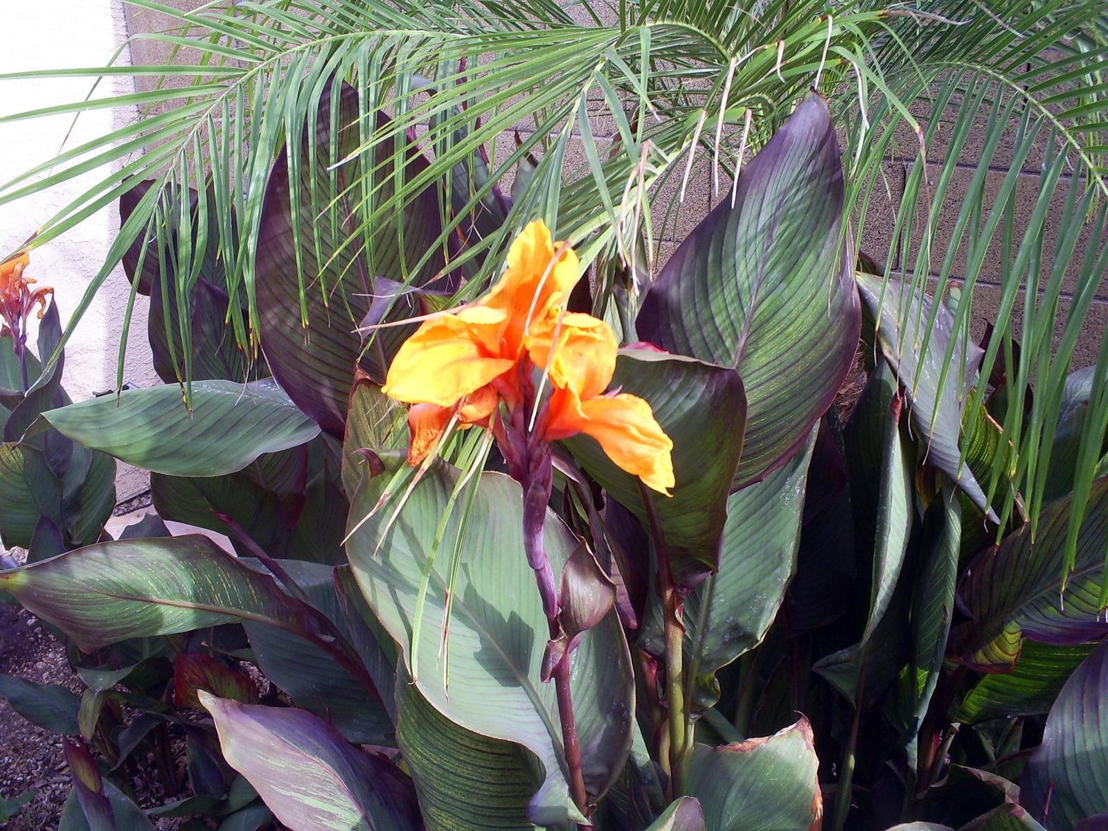 Brad s Tropical Paradise Flowering cannas in the desert