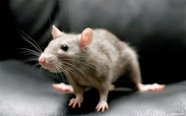 vrednye krysy