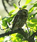N. Saw-whet Owl
