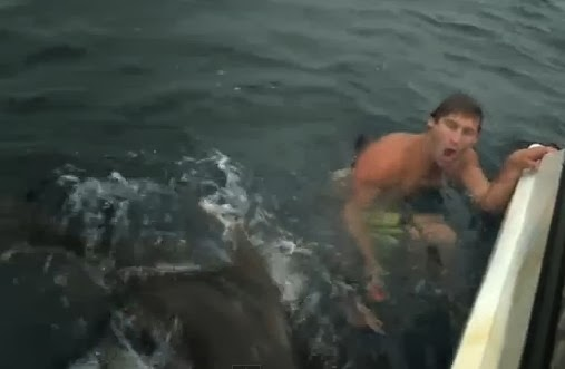 tiger shark real australia shark sharks video videos image images    Biggest Tiger Shark In The World