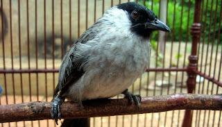Cara Mengetahui Usia Burung Kicauan