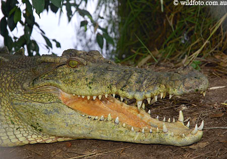 Marine Sea Creatures Through Marine Biology Reptiles Crocodile