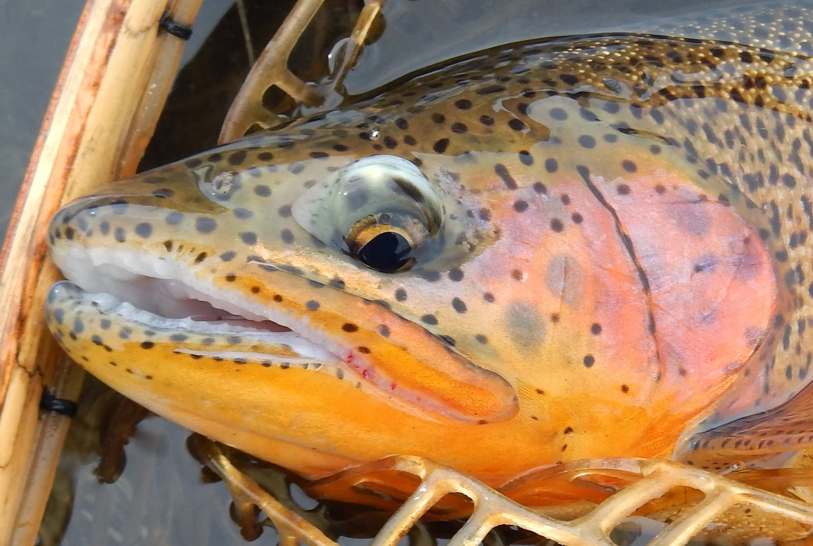 California fly fishing a really early fly fishing report for Fly fishing spots near me
