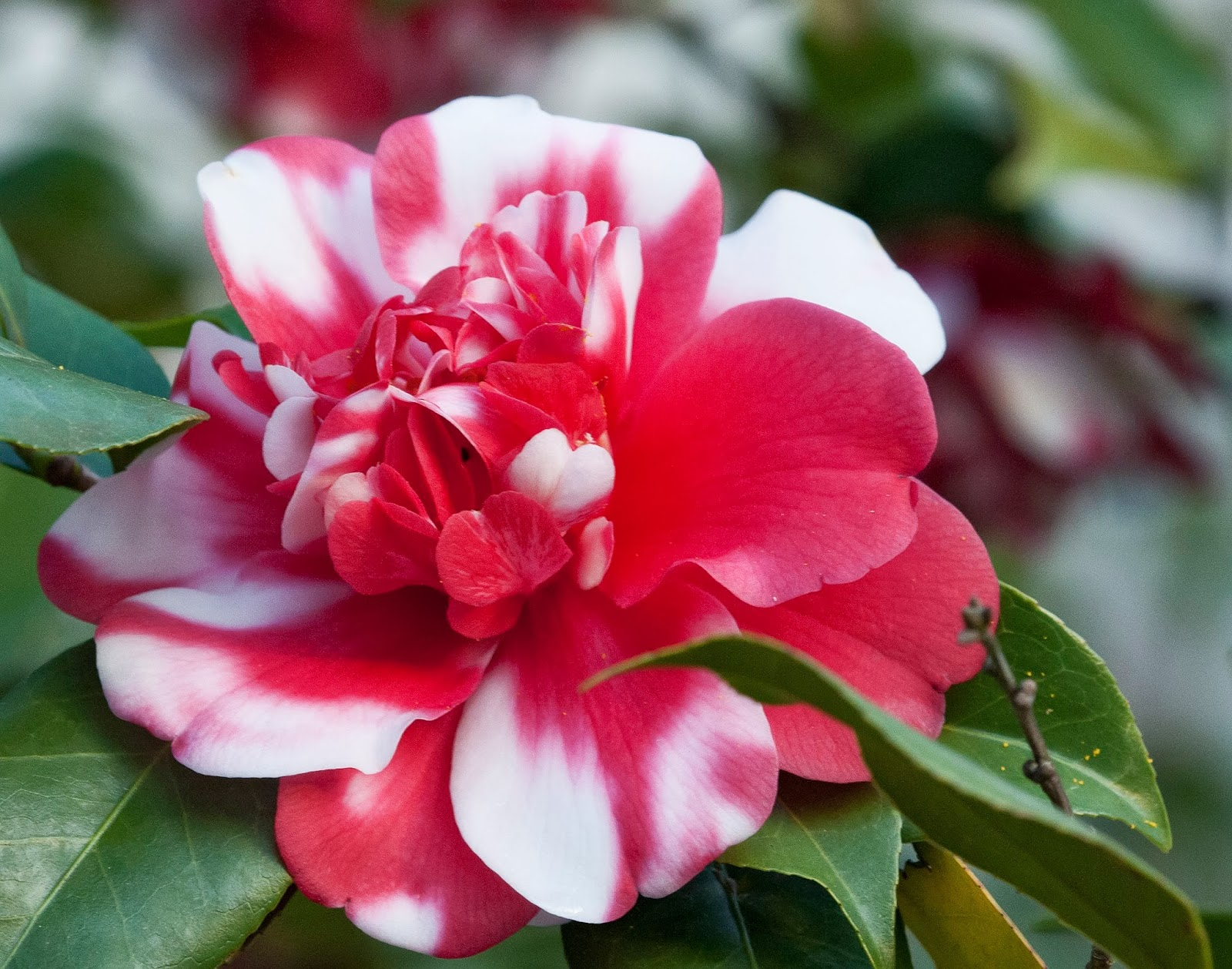 Captivating Camellias