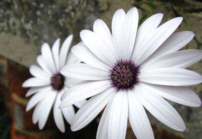 Large white daisies