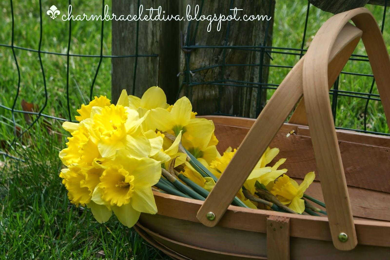 daffodils in garden trug