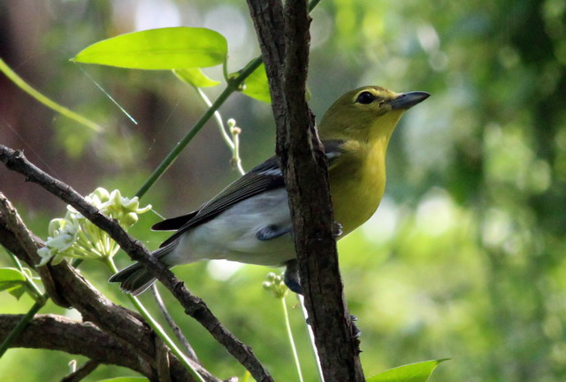 Yellow throated vireo fall - photo#24